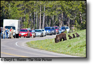 Grizzly bear, cubs, three cubs, grand teton national Park, grizzly 399