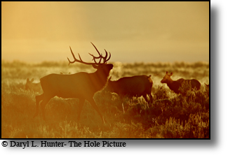 trophy bull elk, herd bull, Jackson Hole, Wyoming