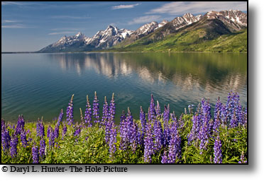 Lupine bloom, Jackson Lake, Grand Tetons, reflection, Jackson Hole, Wyoming