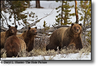 Grizzly bear and cubs, Grand Teton National Park