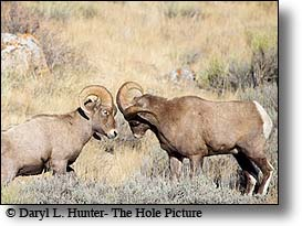 bighorn rams, fighting
