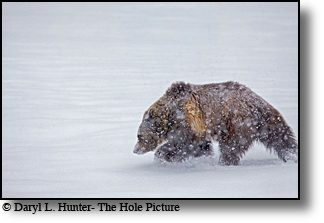 Grizzly Bear, snowstorm, Yellowstone National Park