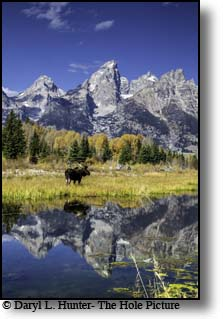 Bull moose, reflection, Grand Tetons, shwabacker landing, Jackson Hole, Wyoming