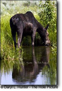 Yellowstone's Shrias Moose - Alces Alces