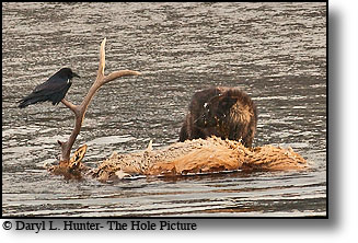 Black Wolf, Raven, elk carcass, Lamar Valley, Yellowstone National Park