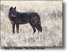 Black Wolf, Agate Pack, Lamar Valley, Yellowstone