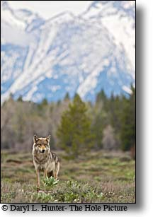 grey wolf, grand tetons