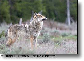 grey yellowstone wolf