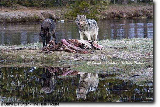 Wolves Reflection