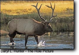 bull elk crossing madison river