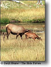 cow elk and calf, Yellowstone National Park
