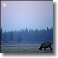 Cow elk Yellowstone full moon