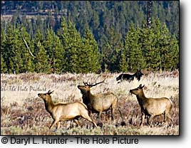 Three elk and a wolf